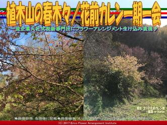 植木山の春木(3)/花前カレン一期一会画像03