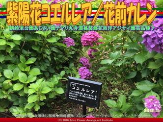紫陽花コエルレア/花前カレン画像02