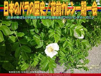 日本のバラの歴史(7)/花前カレン画像02