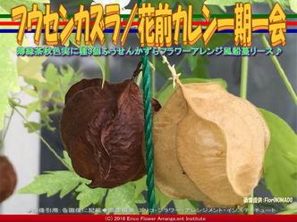 フウセンカズラ/花前カレン一期一会画像02