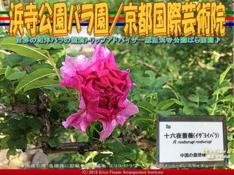 浜寺公園バラ園(9)/花前@京都国際芸術院画像01▼画像クリックで640x480pxlsに拡大@エリ子花前カレン