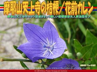 摩耶山天上寺の桔梗/花前カレン画像03