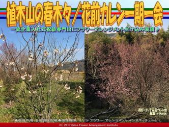植木山の春木(3)/花前カレン一期一会画像02