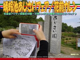 蜻蛉池あじさいフェア/花前カレン画像03