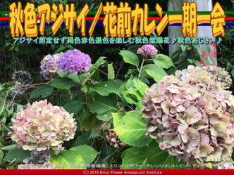 秋色あじさい/花前カレン一期一会画像02