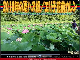 2018年の夏ハス畑(2)/エリ子花前カレン画像01 ▼画像クリックで640x480pxlsに拡大@エリ子花前カレン
