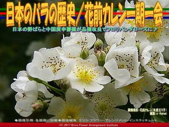 日本のバラの歴史/花前カレン一期一会画像01