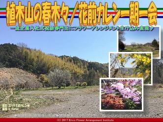 植木山の春木(8)/花前カレン一期一会画像01