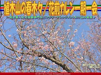 植木山の春木々/花前カレン一期一会画像03