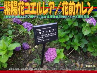 あじさいコエルレア/花前カレン画像02