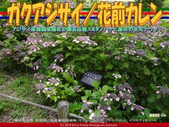 ガクアジサイ/花前カレン画像01
