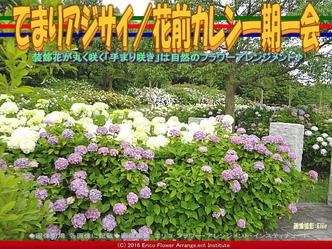 てまりアジサイ/花前カレン一期一会画像02