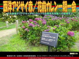 西洋アジサイ赤/花前カレン一期一会画像01