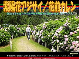 紫陽花アジサイ/花前カレン画像02