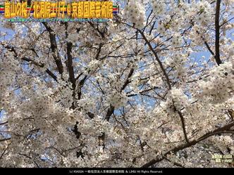 嵐山の桜(2)/北洞院エリ子@京都国際芸術院画像01 ▼画像クリックで1280x960pxlsに拡大@北洞院エリ子花前カレン