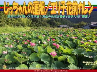 じっちゃんの蓮畑(8)/エリ子花前カレン画像01 ▼画像クリックで640x480pxlsに拡大@エリ子花前カレン