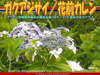 ガクアジサイ/花前カレン画像02