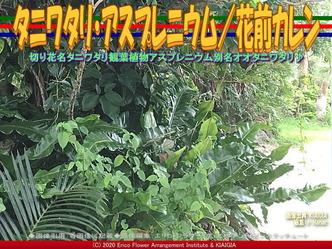 タニワタリ・アスプレニウム(2)/花前カレン画像02 ▼画像クリックで640x480pxlsに拡大@北洞院エリ子花前カレン