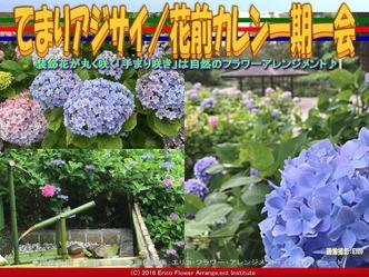 てまりアジサイ(2)/花前カレン画像02