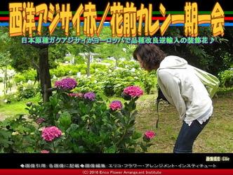 西洋アジサイ赤/花前カレン一期一会画像02