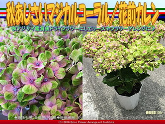 秋紫陽花マジカルコーラル/花前カレン画像03