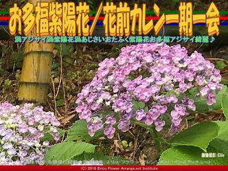 お多福紫陽花/花前カレン一期一会画像02