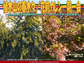 植木山の春木(5)/花前カレン一期一会画像02