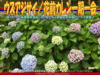 ウズアジサイ/花前カレン一期一会画像01
