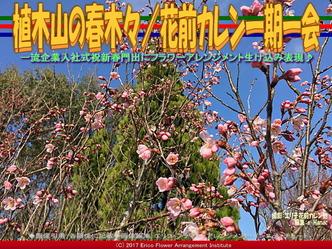 植木山の春木(7)/花前カレン一期一会画像01