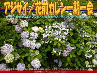 アジサイ/花前カレン一期一会画像03