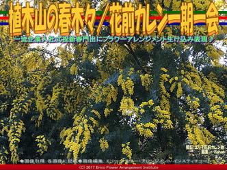 植木山の春木(3)/花前カレン一期一会画像01
