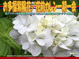 お多福紫陽花/花前カレン一期一会画像03
