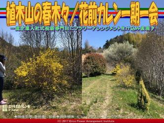 植木山の春木(8)/花前カレン一期一会画像02