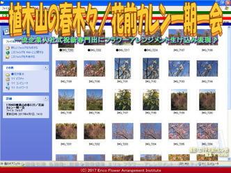 植木山の春木々/花前カレン一期一会画像02