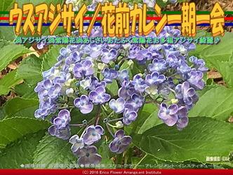 ウズアジサイ/花前カレン一期一会画像03