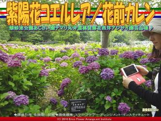 あじさいコエルレア/花前カレン画像03