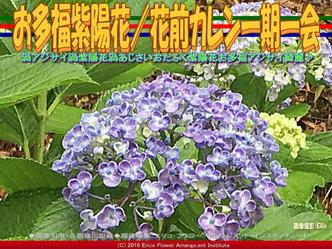 お多福紫陽花/花前カレン一期一会画像01