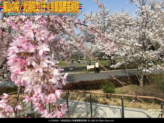 嵐山の桜(3)/北洞院エリ子@京都国際芸術院画像01 ▼画像クリックで1280x960pxlsに拡大@北洞院エリ子花前カレン