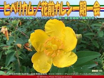 ヒペリカムヒドコート/花前カレン画像01