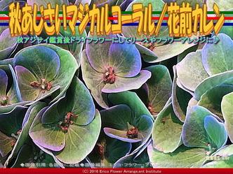 秋紫陽花マジカルコーラル/花前カレン画像02