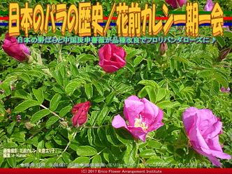 日本のバラの歴史/花前カレン一期一会画像03