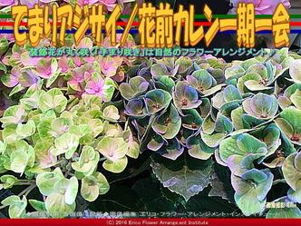 てまりアジサイ(3)/花前カレン画像03