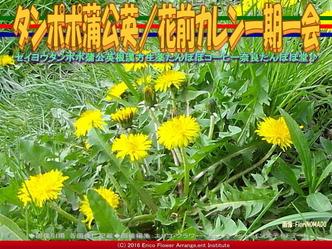 タンポポ蒲公英/花前カレン一期一会画像02