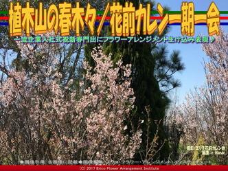 植木山の春木(6)/花前カレン一期一会画像01