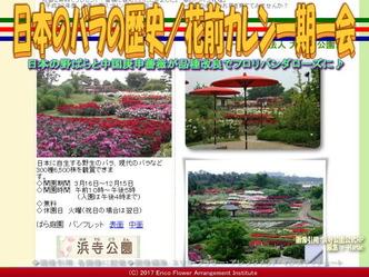 日本のバラの歴史(8)/花前カレン画像01