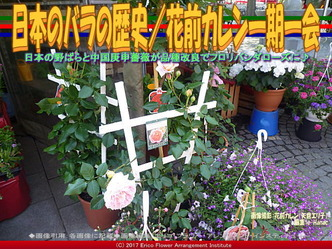 日本のバラの歴史(6)/花前カレン画像03