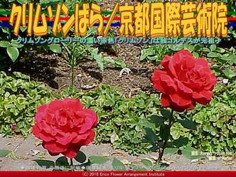 クリムゾンばら(3)/京都国際芸術院画像02▼画像クリックで640x480pxlsに拡大@エリ子花前カレン