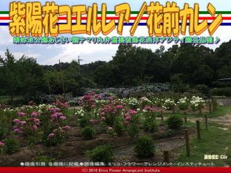 紫陽花コエルレア/花前カレン画像03