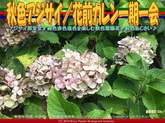 秋色あじさい/花前カレン一期一会画像03