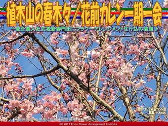 植木山の春木(4)/花前カレン一期一会画像02